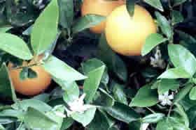 citrus_planta